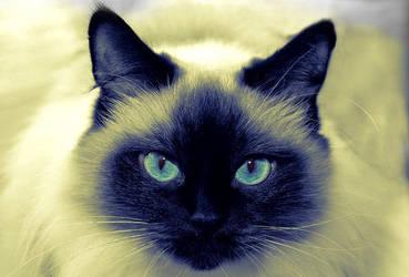 Siamese Kat :D by DragaAR