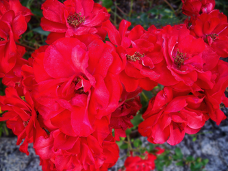Bretagne - Red Flowers by Ludo61