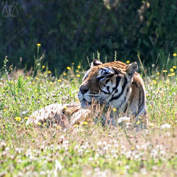 Tiger's Rest by darkcalypso