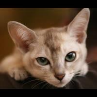 Baltard Feline Show 2011 - VIII by darkcalypso