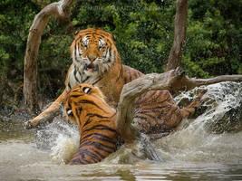 The Tiger Splash III by darkcalypso