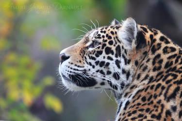 Jaguar Profile by darkcalypso