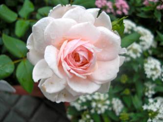 Beauty Rose by rubberduck354