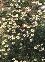 'Butterfly on Chamomile' by SBricker