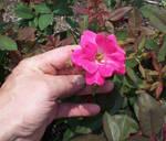'Not-So-Lightflower Rose' by SBricker