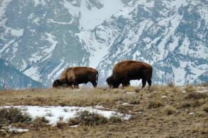 'Two Buffalos and Tetons' by SBricker