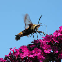 'Snowberry Clearwing Moth' by SBricker