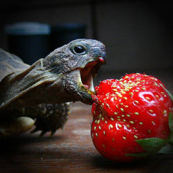 strawberry predator by blackpanda