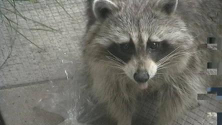 Raccoon in my yard by coldsteeldragon
