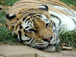 Amur Tiger 01 by RobLehmanPhotos