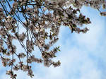 Spring Blossoms in the Sky by velilein