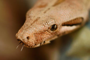 Dusty - boa constrictor by PhotoDragonBird