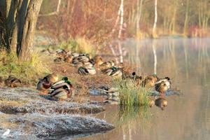 Ducks... Ducks... The same ducks... by PhotoDragonBird