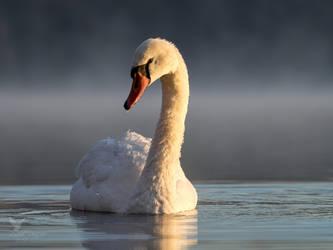 Swan in morning fog by PhotoDragonBird