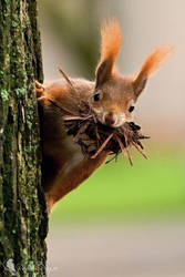 Eurasian red squirrel (Sciurus vulgaris) by PhotoDragonBird