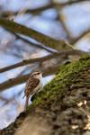 Eurasian treecreeper (Certhia familiaris) by PhotoDragonBird