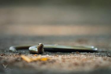 Blindworm (Anguis fragilis) by PhotoDragonBird