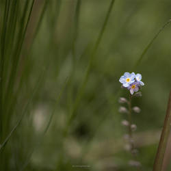 forget me not by VisitingFahrrad