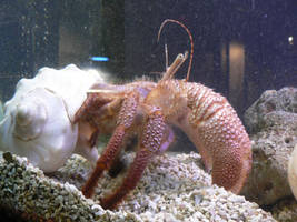 Hermit Crab by magikwolf