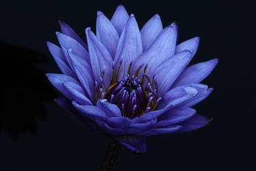 Water Lilly by KilCillian