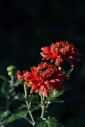 chrysanthemum in the sun by langeboom