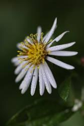 A Star in my autumn garden by langeboom