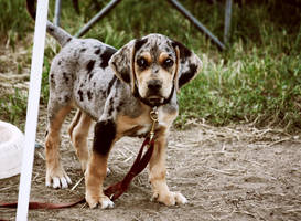 rodeo puppy by like-yesterday