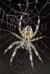 Spider's underside by priwax
