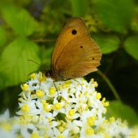 Kahverengi Kelebek 2 by gomit