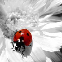 Ladybug.. by gomit
