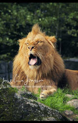 Life of a lion by Bloddroppe-nature