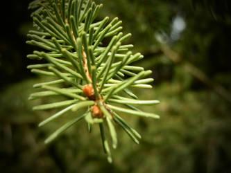 Spruce by Ninusqa010309