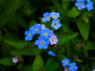 Forget me not by Ninusqa010309