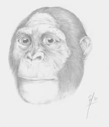 Australopithecus sediba face by Afrovenator