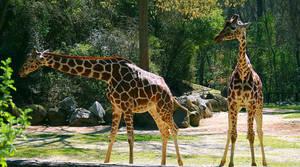 giraffes by Fu11Co11apse