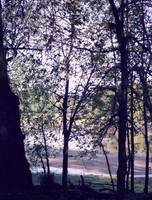 Sauvie Trees by DocMallard