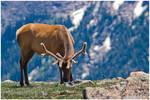 Bull Elk in Velvet by kkart
