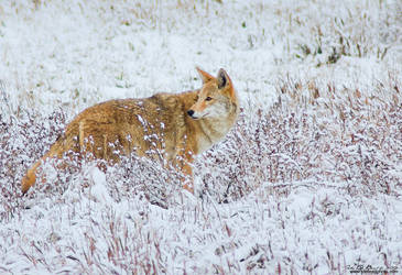 Coyote In Snow II by kkart
