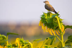 King Of The Sunflowers by kkart