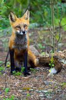 Red Fox Portrait II by kkart