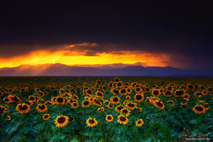Storms, Sunflowers, and Sunsets by kkart