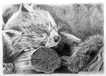 Red Panda by umimarina