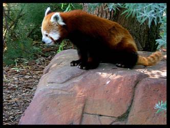 The Red Panda by Amlin