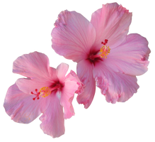Pink Hibiscus by Owhl-stock