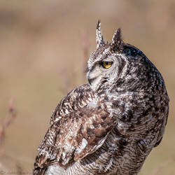 Spotted Eagle Owl by Feuillyien