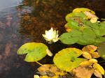 Water lilies by Gallerica