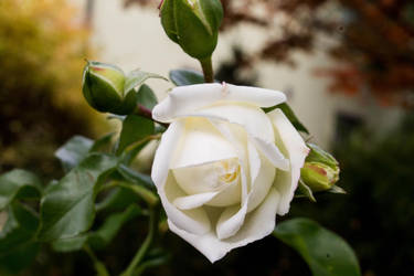 White rose... by youchangedme