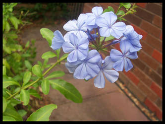 periwinkle by midnight-fantasy
