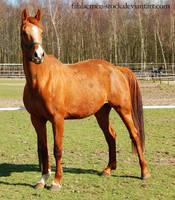 horse stock 36 by Esveeka-Stock