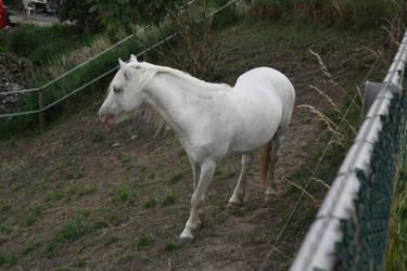 Gray Welsh Pony 3 by Esveeka-Stock